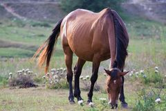 Wild horse. In the Abruzzi National Park Royalty Free Stock Image