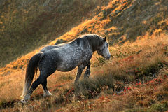 Wild horse. In Stara planina mountine in Bulgaria Royalty Free Stock Images