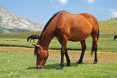 Wild horse Royalty Free Stock Photos