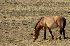 Wild Horse. Equus przewalskii,endangered animals.The original distribution of northern Xinjiang, Gansu, Inner Mongolia junction,China Stock Photography