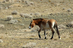 Wild Horse. Equus przewalskii,endangered animals.The original distribution of northern Xinjiang, Gansu, Inner Mongolia junction,China Royalty Free Stock Photo