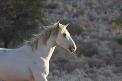 Wild Horse. A white wilde horse near Klein Aus Vista in Namibia royalty free stock image