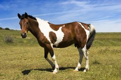 Wild horse Royalty Free Stock Images