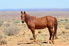 Wild horse in african landscape Stock Photography