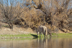 Wild Horse Along the Salt River Stock Images