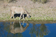 Wild Horse Along Salt River Royalty Free Stock Images