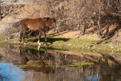 Wild Horse Along the Salt River Stock Photo