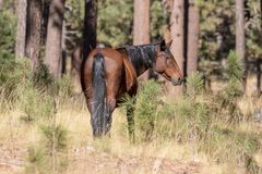 Wild Horse in Arizona Forest. A wild horse in a northern Arizona forest Stock Photos