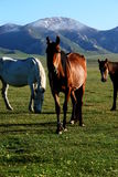 Wild horse on Asian Steppes stock photography