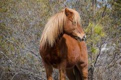 Wild horse - Assateague Island National Seashore royalty free stock photos