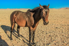 Wild Horse of Aus, Namibia Royalty Free Stock Image