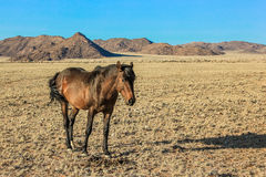 Wild Horse of Aus, Namibia Stock Photos