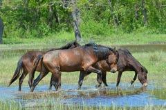 Free Wild Horse Bathing Royalty Free Stock Photos - 105703218