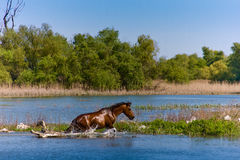 Wild horse bathing Royalty Free Stock Photography