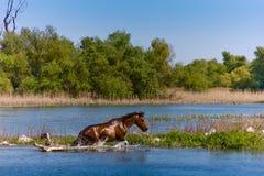 Wild horse bathing royalty free stock photography