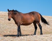 Wild Horse Bay Mare on Sykes Ridge in the Pryor Mountains Wild Horse Range in Montana – Wyoming Stock Image