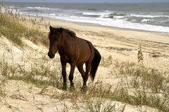 Wild Horse on Beach Stock Image