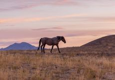 Wild Horse in a Beautiful Desert Sunset. A wild horse in a beautiful Utah desert sunset Stock Photography