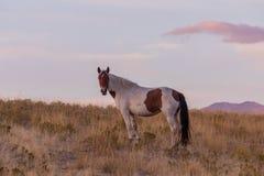 Wild Horse in a Beautiful Utah Desert Sunset. A wild horse in a beautiful Utah desert sunset Royalty Free Stock Photos