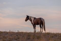 Wild Horse in a Beautiful Utah Sunset. A wild horse in a beautiful Utah desert sunset Royalty Free Stock Image