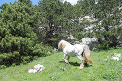 Wild horse on the Biokovo mountain. On the Biokovo mountain, in Croatia, lives a herd of about 50 wild horses. The photo shows a horse with Biokovo Stock Images
