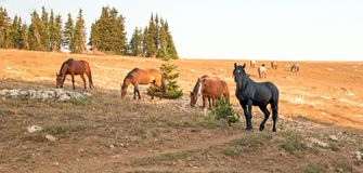 Wild Horse Black Stallion with his small herd in the Pryor Mountains Wild Horse Range in Montana USA. Wild Horse Black Stallion with his small herd in the Pryor Stock Photography