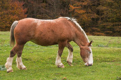 Wild horse with blue eyes Royalty Free Stock Photos