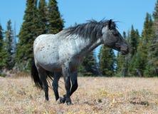 Wild Horse Blue Roan Band Stallion in the Pryor Mountains Wild Horse Range in Montana – Wyoming. Wild Horse Blue Roan colored Band Stallion in the Pryor royalty free stock photo