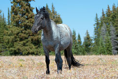 Wild Horse Blue Roan Band Stallion in the Pryor Mountains Wild Horse Range in Montana Stock Photography