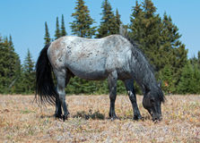 Wild Horse Blue Roan colored Band Stallion feeding in the Pryor Mountains Wild Horse Range in Montana – Wyoming. Wild Horse Blue Roan colored Band stock photo