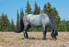 Wild Horse Blue Roan colored Band Stallion feeding in the Pryor Mountains Wild Horse Range in Montana – Wyoming. Wild Horse Blue Roan colored Band royalty free stock image