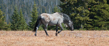 Wild Horse Blue Roan colored Band Stallion in the Pryor Mountains Wild Horse Range in Montana Royalty Free Stock Image