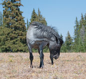 Wild Horse Blue Roan colored Band Stallion in `snaking` posture in the Pryor Mountains Wild Horse Range in Montana. Wild Horse Blue Roan colored Band Stallion in stock photography