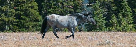 Wild Horse Blue Roan Stallion in the Pryor Mountains Wild Horse Range in Montana – Wyoming. Wild Horse Blue Roan colored Band Stallion in the Pryor royalty free stock photos