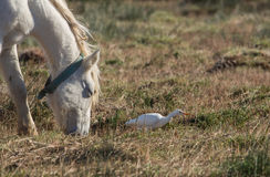 Wild Horse and Cattle Egret Stock Image