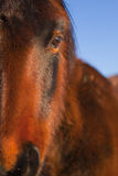 Wild Horse Close Up. Wild Mustang Close up in early morning light Royalty Free Stock Image