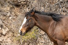 Wild Horse Close Up in the Desert Stock Images