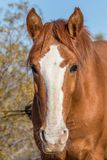 Wild Horse Close Up Portrait. A close up portrait of a wild horse in the Arizona desert Stock Image