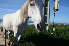 Wild horse. Close up of a white wild horse on sandy beach Royalty Free Stock Photo