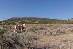 Wild Horse in the Colorado High Desert in Summer royalty free stock images