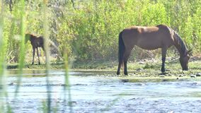 Arizona, Salt River, A wild horse and colt eating and drinking at the shore of the Salt River. A wild horse and colt eating and drinking at the shore of the Salt stock video