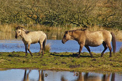 Wild horse with colt in a swamp Stock Images