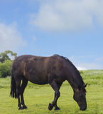 Wild horse dark brown color on grass Stock Images