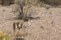 Wild Horse in Desert Royalty Free Stock Photos