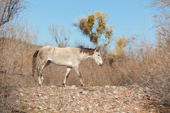 Wild Horse in Desert Royalty Free Stock Images