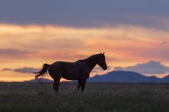 Wild Horse in a Desert Sunset stock image