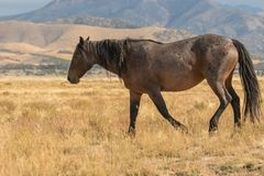 Wild Horse in the Desert Royalty Free Stock Photo