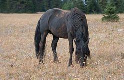 Wild Horse - Dirt covered Black Stallion grazing in the Pryor Mountains Wild Horse Range in Montana USA. Wild Horse - Dirt covered Black Stallion grazing in the Royalty Free Stock Photography