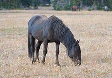 Wild Horse - Dirt covered Black Stallion grazing in the Pryor Mountains Wild Horse Range in Montana USA Stock Image