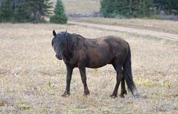 Wild Horse - Dirt covered Black Stallion in the Pryor Mountains Wild Horse Range in Montana USA Royalty Free Stock Images